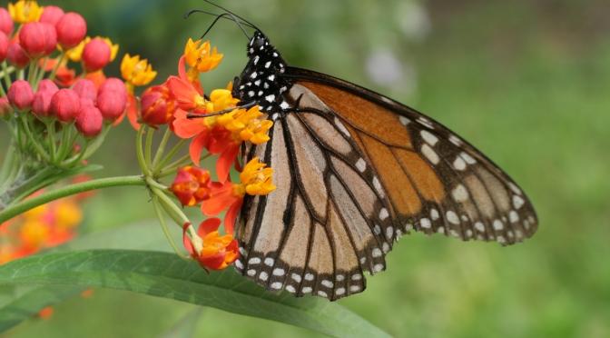 El fenómeno de la Mariposa Monarca, una travesía de sobrevivencia e identidad